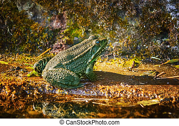 The Pool Frog Resting on the Bank of a Pond