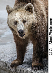 The portrait of adult brown bear.