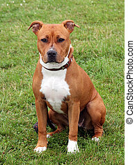 The portrait of American Staffordshire Terrier