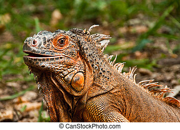 The portrait of beautiful iguana
