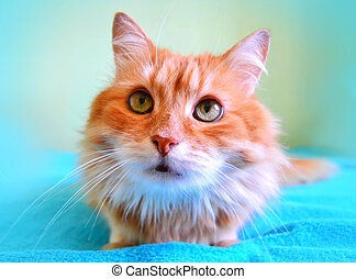 The portrait of beautiful red cat