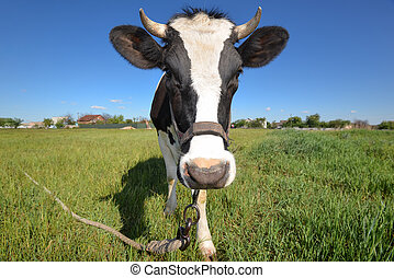The portrait of cow on the background of field.