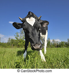 The portrait of cow sniffing a camera on the background of green field. Farm animals. Grazing cow