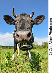 The portrait of cow with big snout on the background of green field. Farm animals.