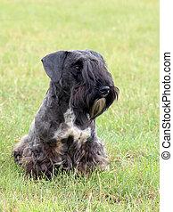 The portrait of Czech Terrier