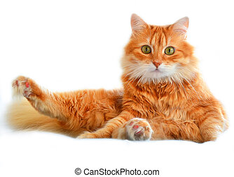 The portrait of funny red cat, isolated on a white
