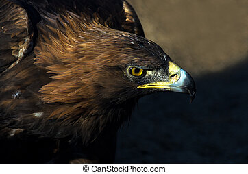 The portrait of golden eagle (Aquila chrysaetos) at sunset