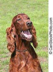 The portrait of Irish Red Setter on a green grass lawn