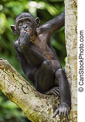 The portrait of juvenile Bonobo. The Bonobo ( Pan paniscus)