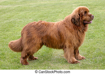 The portrait of Newfoundland brown dog