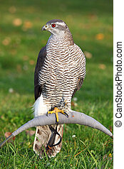 The portrait of Northern Goshawk, Accipiter gentilis