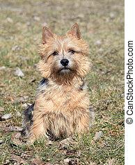 The portrait of Norwich Terrier