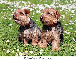 The portrait of pair Norfolk Terrier dogs in the garden