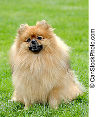 The portrait of Pomeranian dog