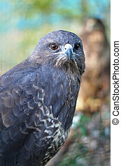 The portrait of predator buzzard
