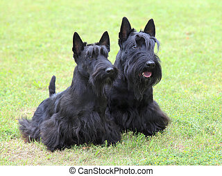 The portrait of two Scottish Terrier dogs