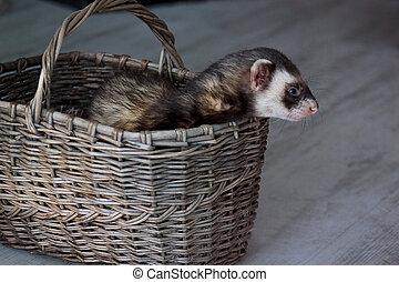 The pretty ferret is sitting in a wicker basket.