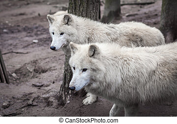 The Pride of white wolves in a forest looking out for prey