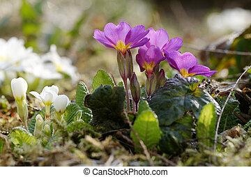The primroses