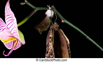 the process of emergence of Owl butterfly from the pupa, time lapse, the butterfly is born from the pupa and shakes its wings, cognitive and educational aid, macro photography.