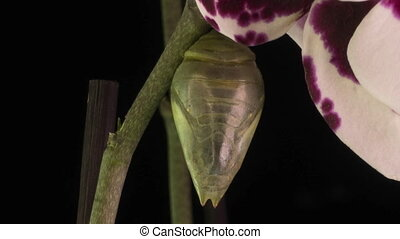 the process of emergence of the Morph butterfly from the pupa, time-lapse, the butterfly is born from the pupa and shakes its wings, cognitive and educational assistance, macro photography.