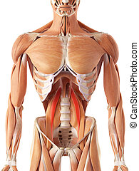 The psoas minor - medically accurate illustration of the ...
