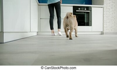 The pug coming to the kitchen while owner cooking