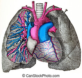 The pulmonary artery and aorta, vintage engraving. - The...