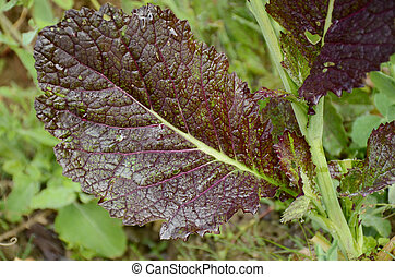 the purple ripe green mustered leaves with plant in the farm.