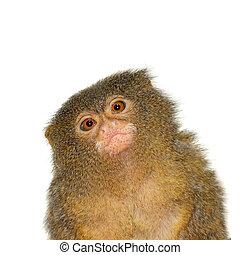 The pygmy marmoset, cebuella pygmaea, on white - The pygmy...