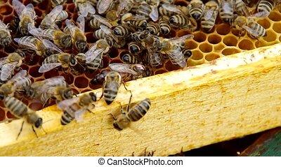 The queen bee on honeycomb