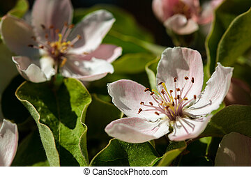 The quince (Cydonia oblonga), blooming, a small deciduous ...