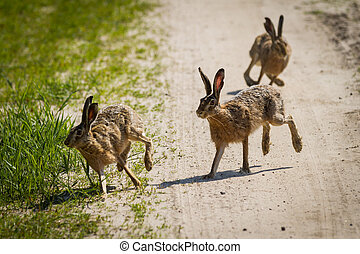 The rabbits running around the meadow