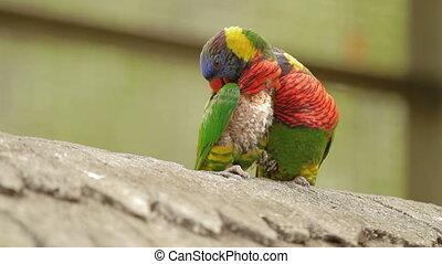 The rainbow lorikeet (Trichoglossus moluccanus), colorful...