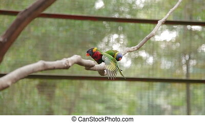 The rainbow lorikeet Trichoglossus moluccanus , colorful...