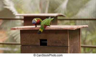 The rainbow lorikeet Trichoglossus moluccanus , colorful...