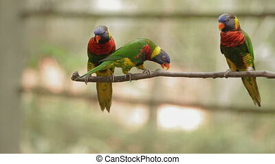 The rainbow lorikeet (Trichoglossus moluccanus), colorful...