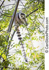The Rare Lemur Feeding in Trees