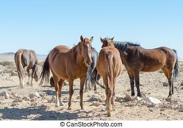 Namib desert horses