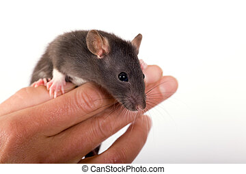 The Rat on the fingers