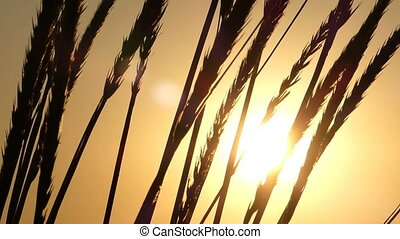 The rays of sun beam though the row of wheat spikelets at sunset
