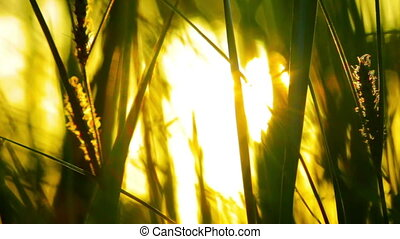 the rays of the sun through the green grass