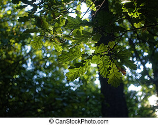 the rays of the sun through the oak leaves in the summer
