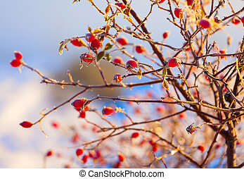 the red berries of a rose-hip in the winter in snow
