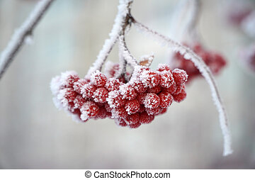 the red berries of the mountain ash are covered with snow. winter, frosty day