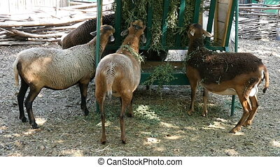The Red Book Antelopes eat oats on a sunny day in summer in...