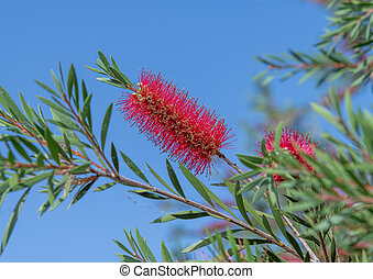 The Red bottle-brush tree - is a Callistemon