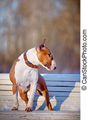 The red bull terrier on a white bench in park.