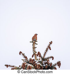 The red crossbill, lat. Loxia curvirostra, eating cone seeds on fir tree against a blue sky.
