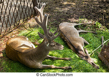 The red deer (Cervus elaphus) in a zoo at springtime. Is one...